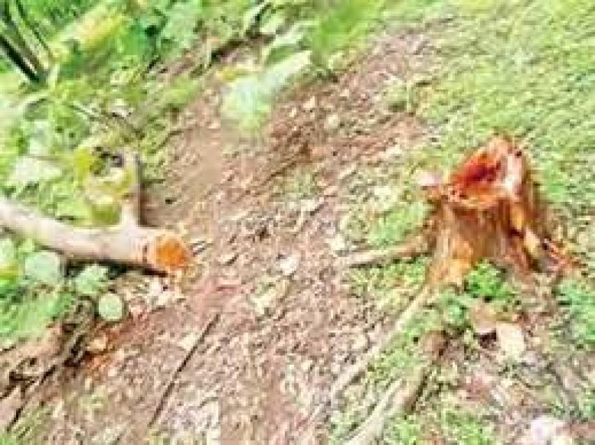 Wood smuggling: तस्कर चला रहे कुल्हाड़ी, वन अधिकारी सुस्त